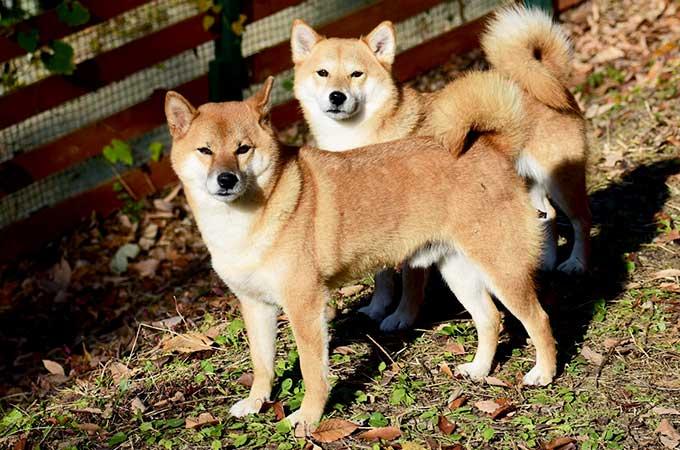 日本でも最近まであった?  犬に課税されていた犬税とは